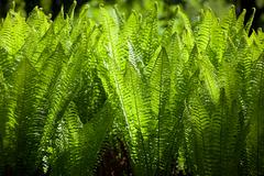 macro plenty sword fern growing - stock photo