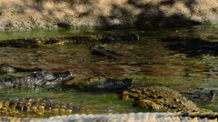 Crocodiles in the river Stock Footage