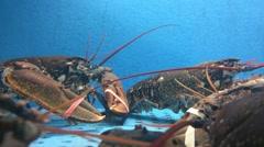 Lobsters in tank Stock Footage