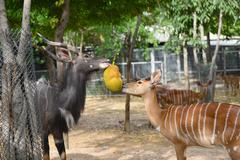 animal enrichment in zoo - stock photo