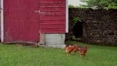 Free range chickens - stock footage