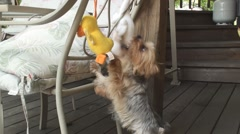 Yorkie and plush duckss 2 Stock Footage