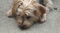 Yorkie lying on the concrete driveway Stock Footage