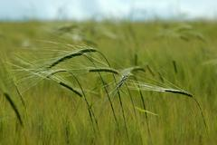 Ears of rye, farming - stock photo