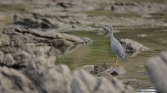 White-faced Heron on the Coast of New Zealand Stock Footage