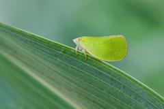 Macro photography of green treehopper with natural background Stock Photos