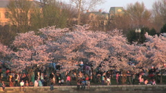 Washington DC Blooming cherry trees in afternoon light Stock Footage