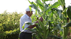 Farmer checking corn field, corn cob, cereal plants,organic agriculture - stock footage