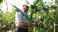 Farmer checking corn field, man tearing corn cob, plants,organic agriculture - stock footage