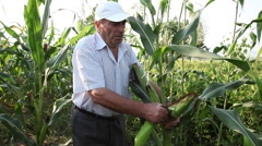 Harvest time, farmer checking corn field, tearing corn cob, organic agriculture Stock Footage
