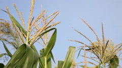 Full grown maize plants, male flowers against the sky, mature plants,corn field Stock Footage