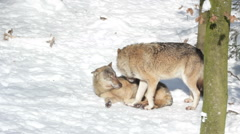 Higher-ranking wolf takes care of Omega wolf (Canis lupus). Stock Footage