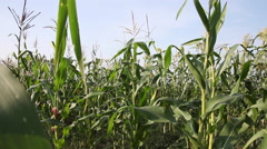 Bad crop, harvest, corn field, dry season, full grown maze plants - stock footage
