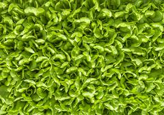 Stock Photo of green salad leaf background