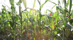 Bad crop, pan across corn field, dry season, full grown maze plants - stock footage