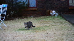 Two Cats Play Fight in a Back Yard, Funny Stock Footage