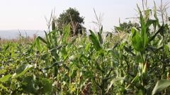Pan across corn field,rows of cereal plants,farm,rural scene,organic agriculture - stock footage
