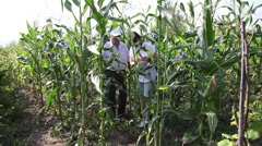 Inspecting corn field, farmers checking corn cob, harvest, organic agriculture Stock Footage
