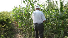 Inspecting corn field,harvest time,farmer checking corn cob,organic agriculture - stock footage