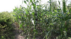 Farmer walking through corn field,checking corn cob,cereals,organic agriculture - stock footage