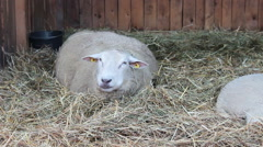 Sheep in the barn Stock Footage