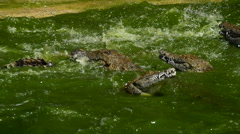 Crocodiles in river fighting Stock Footage