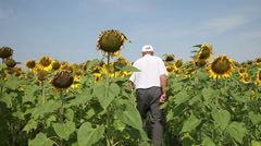 Farmer checking sunflower land, man inspecting, analyzing harvest, agriculture Stock Footage