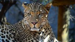 Close Up of a Leopard Stock Footage