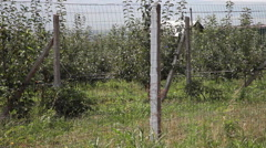 Orchard, farm, rows of apple trees, fruits, horticulture, fence, panning - stock footage