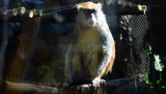 A Monkey Sits on a Log and Looks Around, HD, 1080 Stock Footage