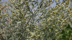 Blooming Artemisia absinthium, absinth, shurb, achene, fruit Stock Footage