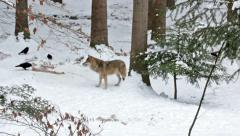 A Wolf in winter in the snowy Woods and some ravens and crows. Stock Footage