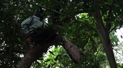Village man climb tree without protective gear in forest to collect wild honey Stock Footage
