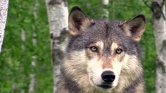 Beautiful timber wolf good eye contact Stock Footage