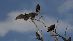 Buzzards in dead tree blue sky 4K 115 Stock Footage
