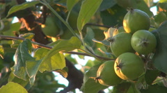 Group green apples tree orchard summer time unripe fresh fruit hang garden day Stock Footage
