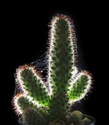 beautiful close up and  rim light cactus on black background - stock photo