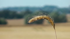 Rye field  / rural Landscape Stock Footage