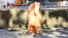 Red kitten with his mother cat Arkistovideo