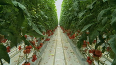 Tomatoes seedlings in a greenhouse travelling 5 Stock Footage