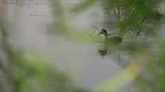 Duck swims in the lake with reeds Stock Footage
