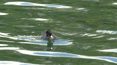 A small eurasian coot floating on the lake gh4 4k uhd Stock Footage