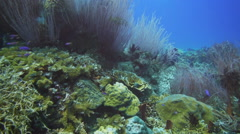 Sea whips on coral reef Stock Footage