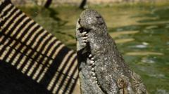 Big crocodile eating in zoo Stock Footage
