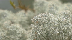 Lots of white cup lichen or brodo on display gh4 4k uhd Stock Footage