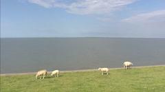 Sheep graze on sea dike in front of Wadden Sea + pan village behind dike - stock footage