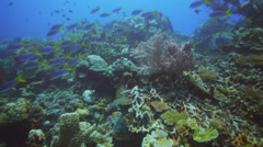 Yellow and blueback fusilier fish and coral Stock Footage
