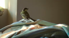 Titmouse Flew Into The Room Stock Footage