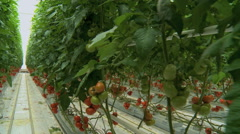 Tomatoes seedlings in a greenhouse travelling 6 Stock Footage