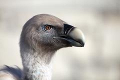 Vulture portrait Stock Photos